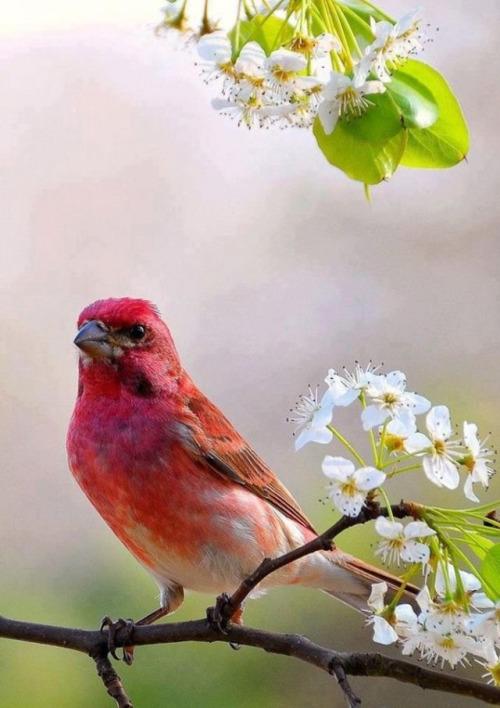 صور اجمل كناري في العالم , عصافير الكنارى بالصور