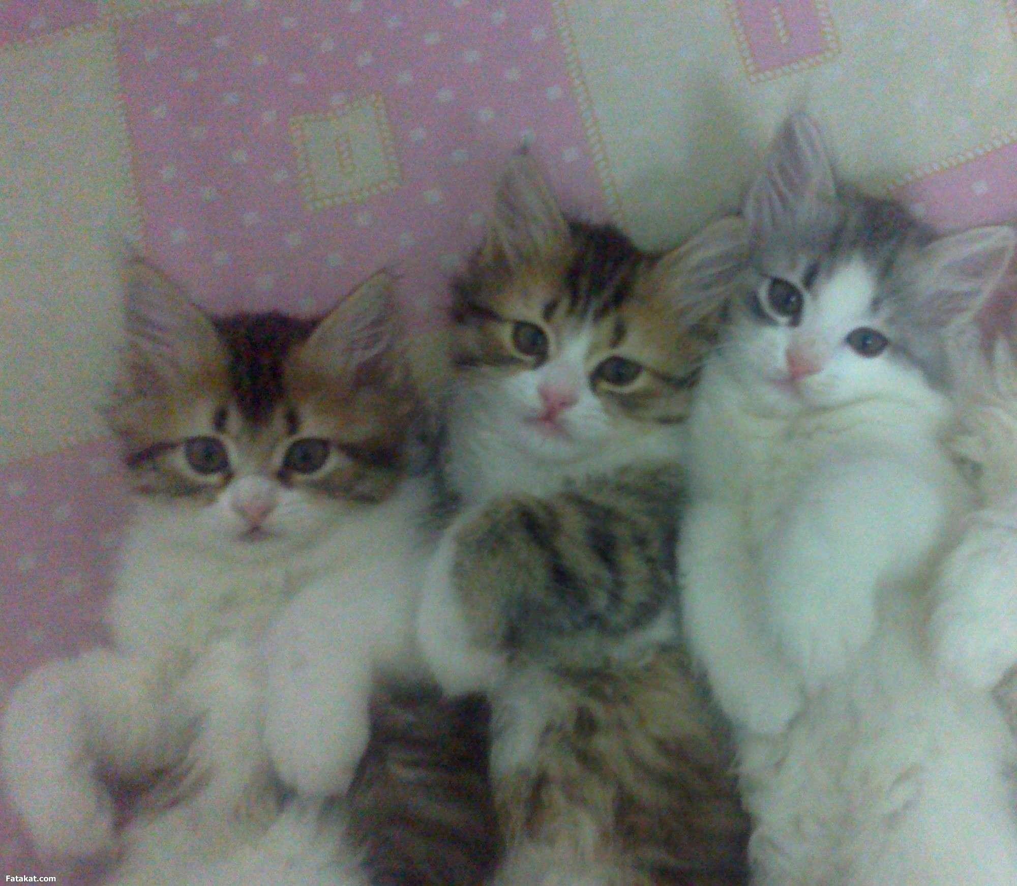 صورة قطط رومي , اذكى القطط الرومى