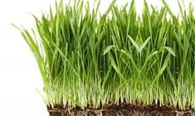 صور عشبة القمح , معلومات عن عشبة القمح