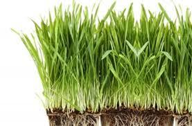 صورة عشبة القمح , معلومات عن عشبة القمح