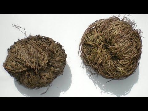 صورة عشبة كف مريم , طريقة استعمال عشبة كف مريم
