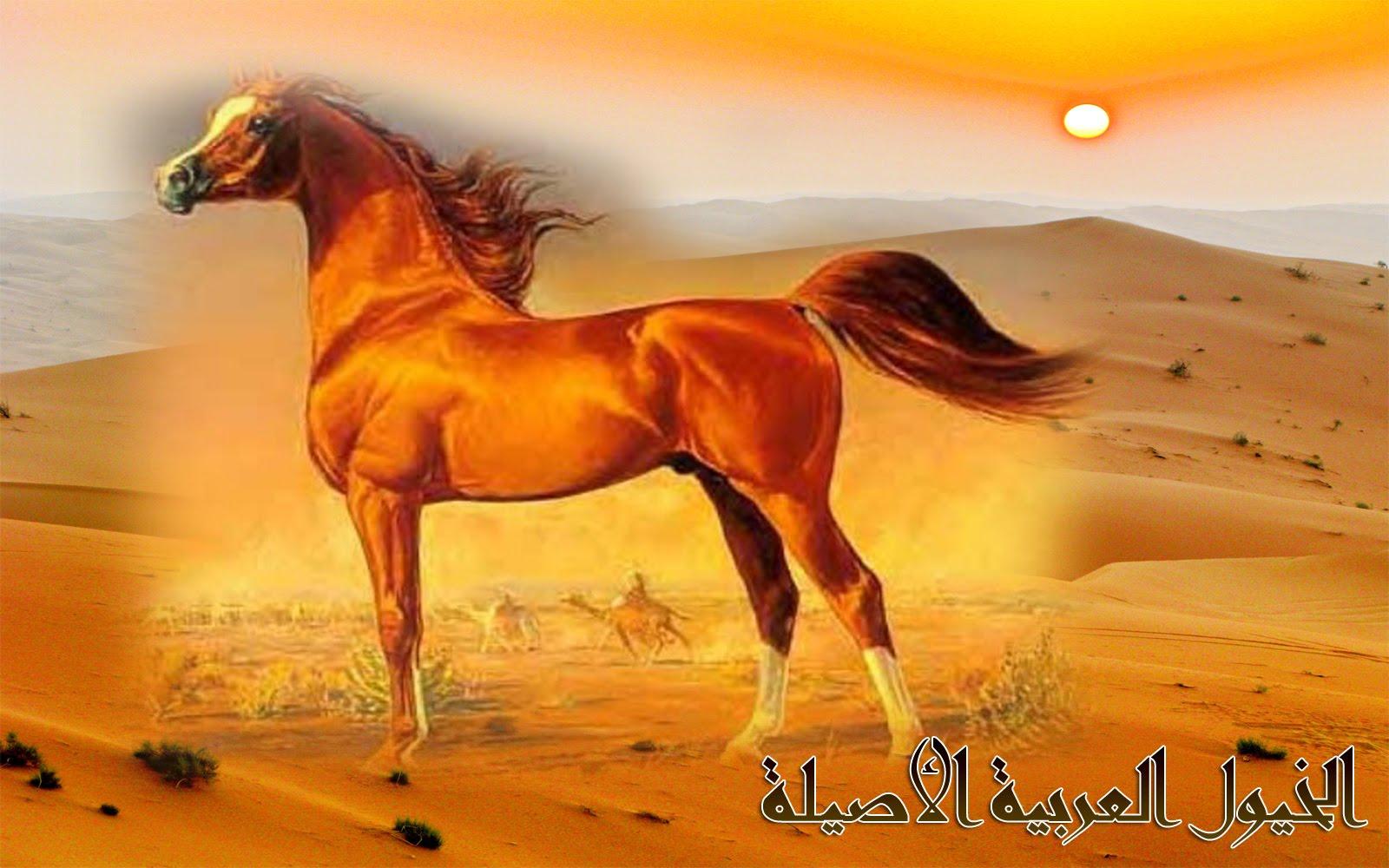 صورة خيول عربية , اصالة الخيول العربية العريقة