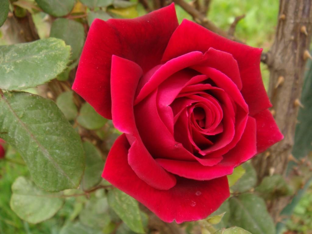 صورة اجمل صور الورد , خلفيات للزهور تحفة جدا