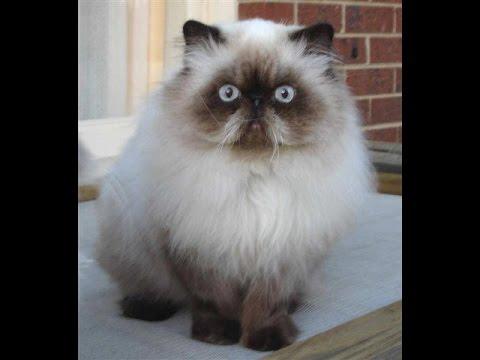 صورة قطط هملايا , ماذا تعرف عن انواع القطط