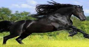 صورة الحصان الاسود في المنام , تفسير رؤية الحصان الاسود