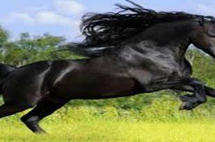 صور الحصان الاسود في المنام , تفسير رؤية الحصان الاسود