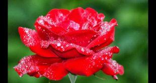 صورة اجمل وردة في العالم,الورود الطبيعيه ومناظرها الخلابة