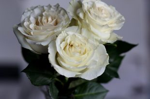 صورة ورد ابيض بالصور , اجمل واحلي صور الورد الابيض 👇