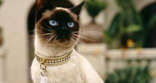 صورة صور قطط سيامو , احلي صور قطط تجنن 👇