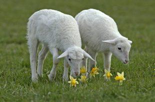 صورة رؤية الماعز البيضاء في المنام , ما معني الماعز البيضاء في الحلم 👇